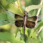 Widow Skimmer (juvenile)