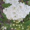 Bridal Wreath Spiraea