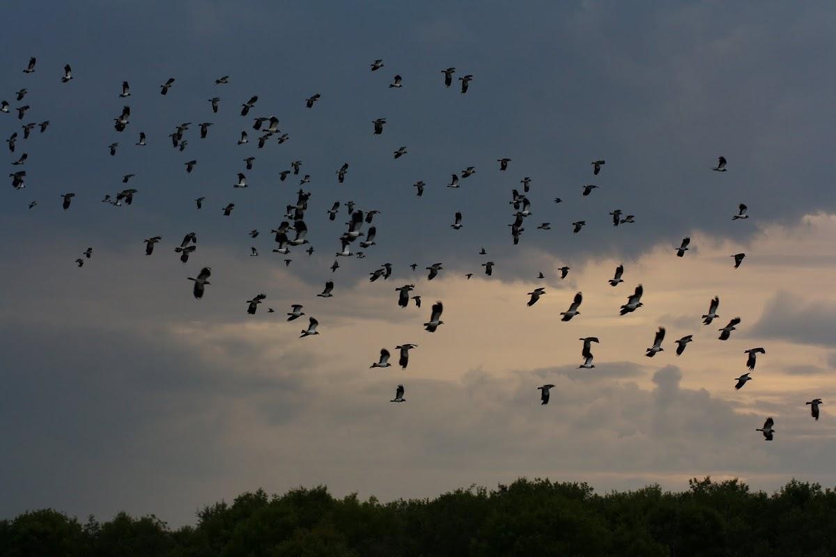 Lapwings (Flock)