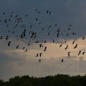 Lapwings (Flock)