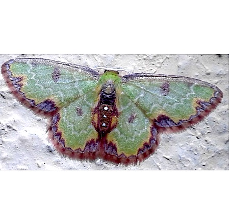 Dependens Emerald Moth