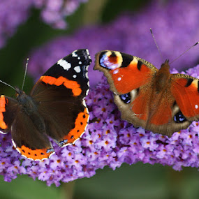 Butteflies. by Mark Milham - Animals Other ( butterfly, butterflies, red admiral, peacock, peacock butterfly )