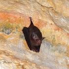 Sheath-tailed Bat or Sac-Winged Bat