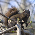 Eastern Gray Squirrel, female, melanistic