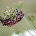 Striped-bug - kněžice páskovaná