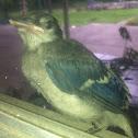 Bluejay (juvenile)