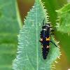 Third instar Larva of Convergent Ladybug