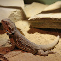central (or inland) bearded dragon