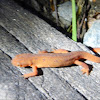 Red-spotted newt (eft)