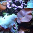 Striped mushroom coral/ Blue green Ricordia