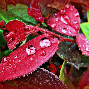 Raindrops on Red Leaf by Cheryl Beaudoin - Uncategorized All Uncategorized ( water, red, green, drops, raindrops, leaf, leaves, , Africa, Safari )