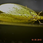 Dobsonfly (Female)