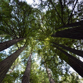 Muir Woods by Joana Gramajo - Nature Up Close Trees & Bushes (  )
