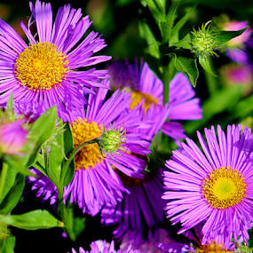 Wild Asters by Sherri Woodbridge - Flowers Flowers in the Wild ( asters, bloom, lavender, flowers, garden, wild flowers, , purple, yellow, color )