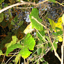 River Grapes
