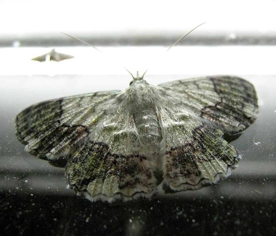 Bark Geometrid Moth