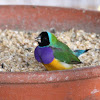 Black headed male Gouldian Finch