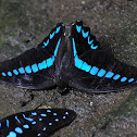 Milon´s Swallowtail