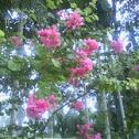 Chrry Flower
