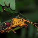 Grasshopper Hippacris diversa