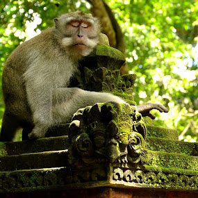 Been a long day by Matt Hulland - Animals Other ( bali, monkeys, indonesia, thailand, forest, monkey, animal )