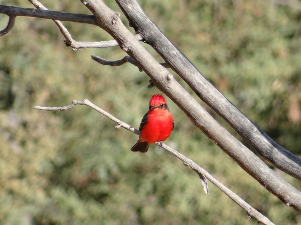 Vermilion Flycatcher or Churrinche