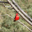 Vermilion Flycatcher or Churrinche