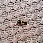 Asian Ladybug Larva