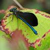 Beautiful Demoiselle, caballito del diablo azul