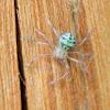 Baby huntsman spider