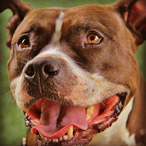 Paige available at Monmouth County SPCA. by Rusty Jhorn - Animals - Dogs Portraits ( pitbulls, dogs, spca, paige, mcspca, bullybreed )