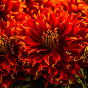 Dahlia on fire by James Case - Flowers Flower Arangements ( nature, garden, floral, flower, , Flowers, Flower Arrangements )