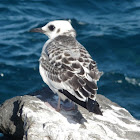 Swallow-tailed Gull (juvenile)