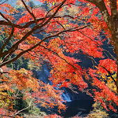 Autumnal leaves(Yoro Valley )