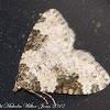 Garden Carpet Moth