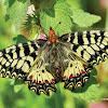 Southern Festoon-Papilionidae