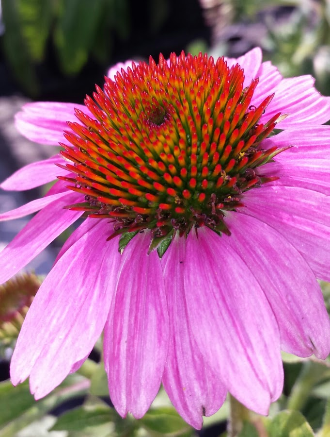 Electric Pink by Anne Johnson - Flowers Single Flower ( pink flower, petals, plants, pink, flower,  )