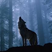 Одинокая волчица