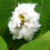 Dogwood sawfly larva