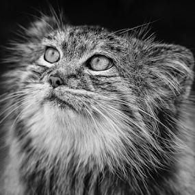 Pallas Cat by Chris Sargent - Animals - Cats Portraits ( wild cat, pallas, cat )