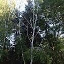 Whitebarked Himalayan Birch
