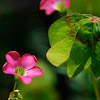 Four-leaved Pink-sorrel, Vierblättriger Sauerklee