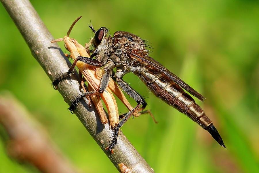 Predator ... by Andi Albayquni - Animals Insects & Spiders ( animals, macro, nature, ntb, indonesia )