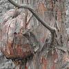 Burl on Bald Cypress