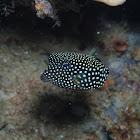 Female Spotted Boxfish