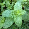 Mentha (Mint)