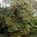 Horse Chesnut