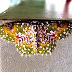 Oriental Orange banded Green Geometer moth