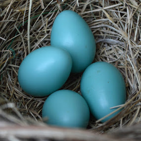 Eggs by Shannon Maltbie-Davis - Nature Up Close Hives & Nests (  )