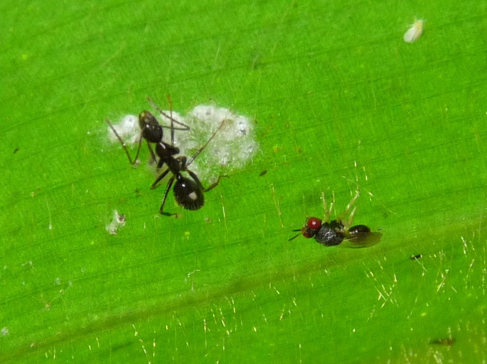 Microparasitoid wasp